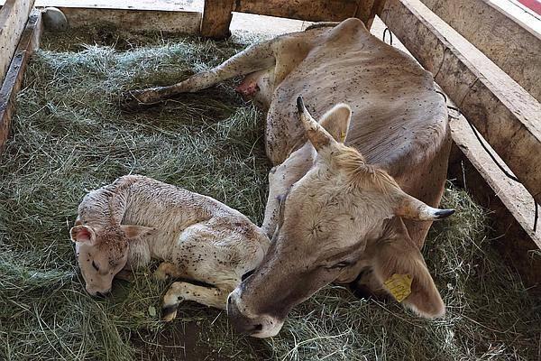 Срок беременности у коров - сколько месяцев корова вынашивает теленка