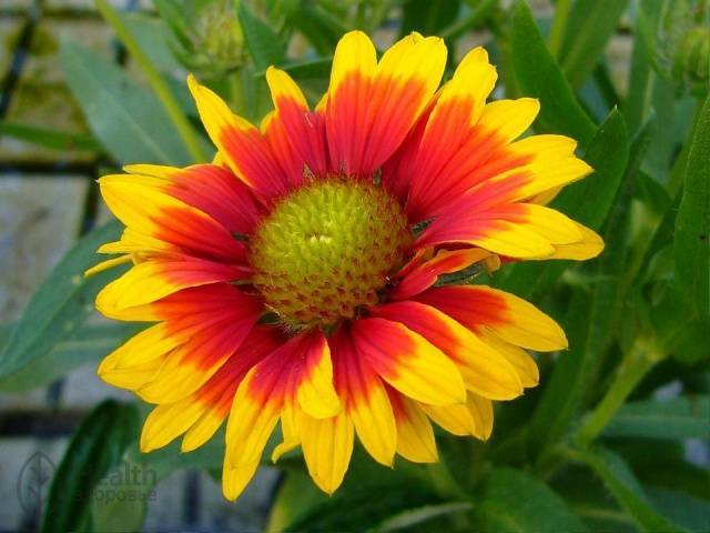 Гайлардия: описание и особенности выращивания