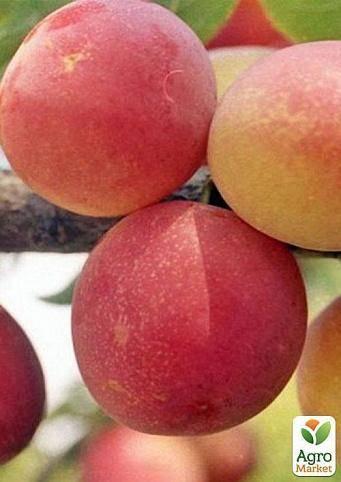 Гибриды персика для выращивания на участке