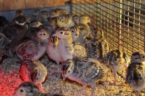 Разведение и содержание фазанов в домашних условиях: советы, видео