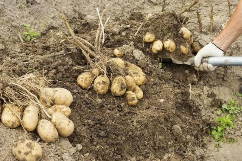 Сонник копать картошку. к чему снится копать картошку видеть во сне - сонник дома солнца