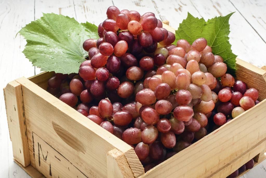 Виноград софия: характеристика и описание сорта