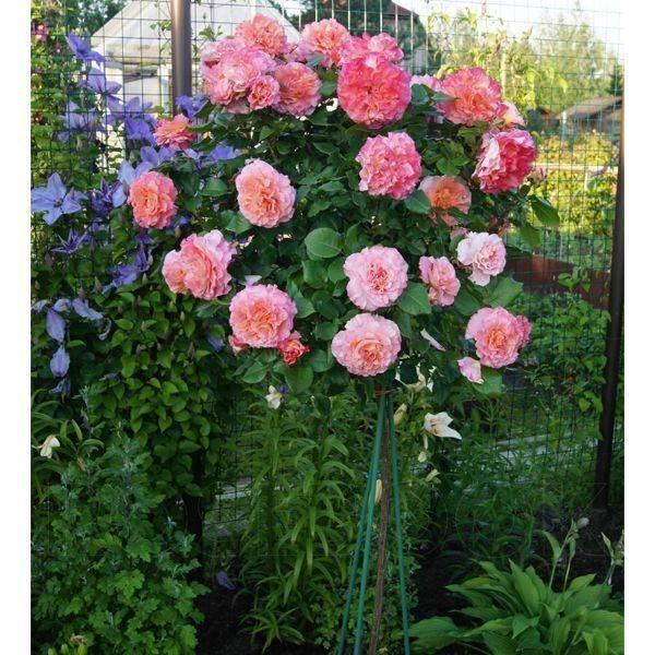 Роза августа луиза: описание сорта и особенности ухода