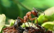 Муравьи на клубнике: как избавиться от муравьев, защитив клубнику