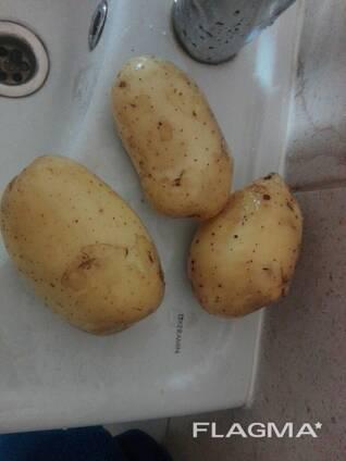 Описание сорта картофеля коломбо — особенности выращивания