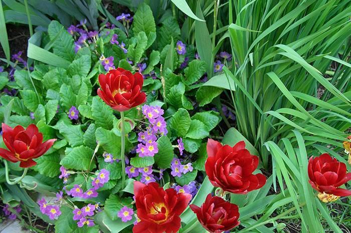 Секреты отличного ухода за тюльпанами после цветения