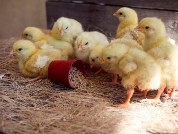Температура для цыплят разного возраста