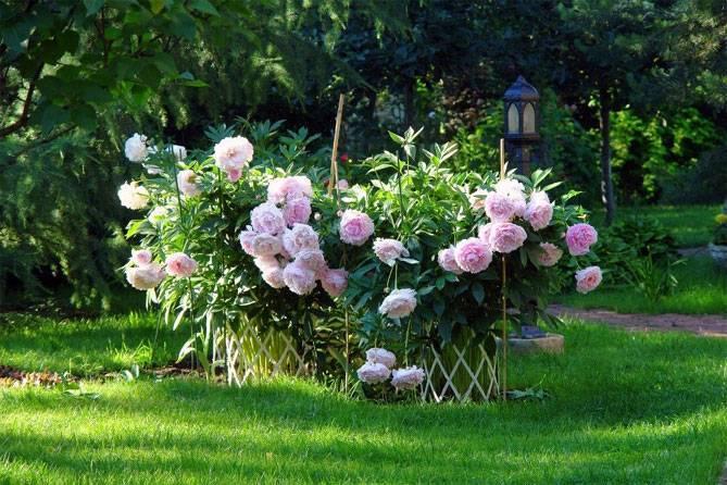 Пионы: тонкости посадки и ухода, почему не цветут