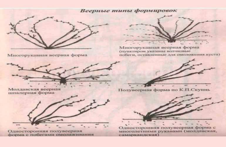 Формировка винограда методом кордон