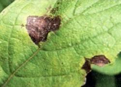 Что такое гортензия как принимать. гортензия – цветок здоровья для мочеполовой системы. посадка гортензии семенами