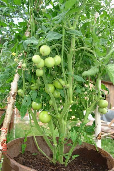 Необычные способы посадки картофеля или как вырастить картошку в бочке