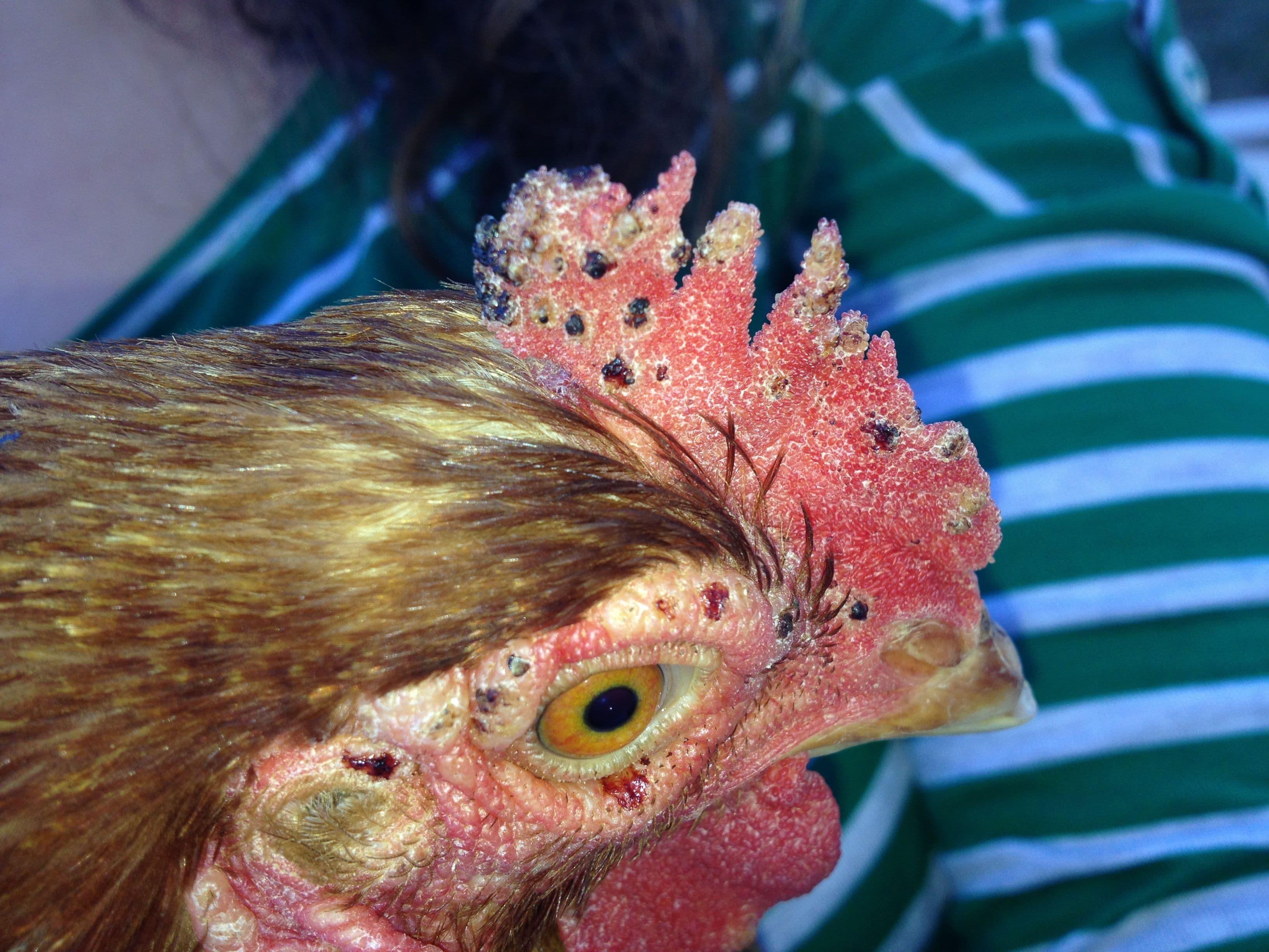 Клещ куриный: меры борьбы и профилактики. средства от куриного клеща. как выглядит куриный клещ. методы борьбы с красным куриным клещом чем лечить цыплят от клещей
