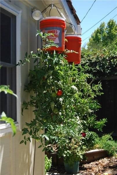 А вы садили томаты вверх корнями?
