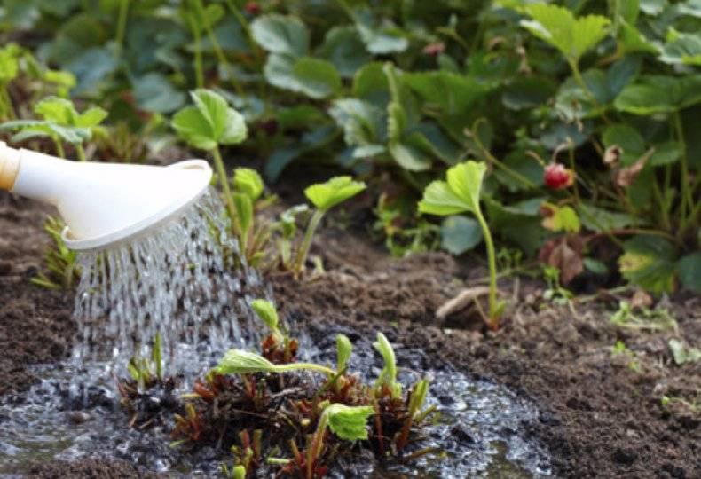 Как часто поливать клубнику, чтобы получить обильный урожай