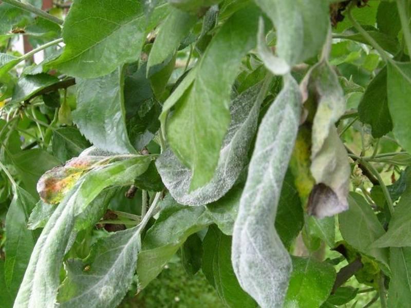 Болезни и вредители культур плодовых деревьев