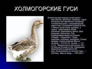 Холмогорские гуси – описание породы и её характеристика