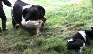Послеродовой парез у коров: признаки, оказание помощи и профилактика