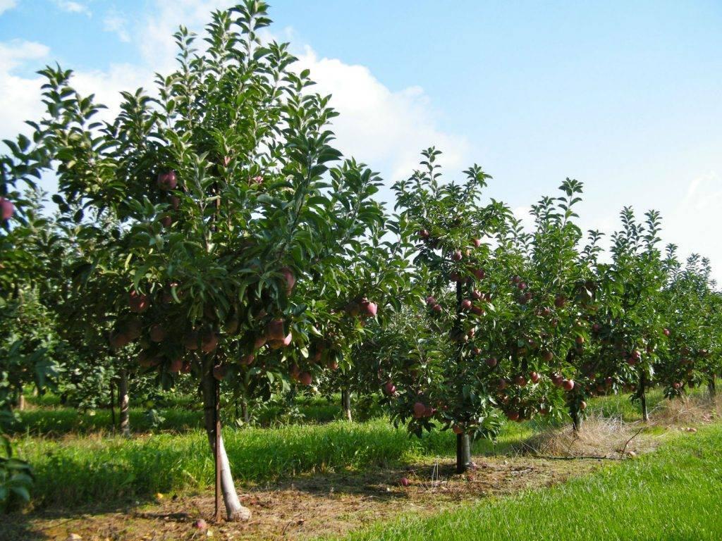 Все о расстоянии между плодовыми деревьями при посадке: схема расположения
