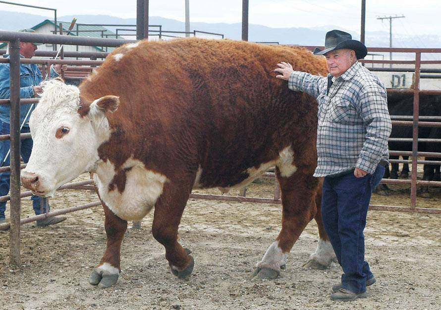 Сколько весит бык?