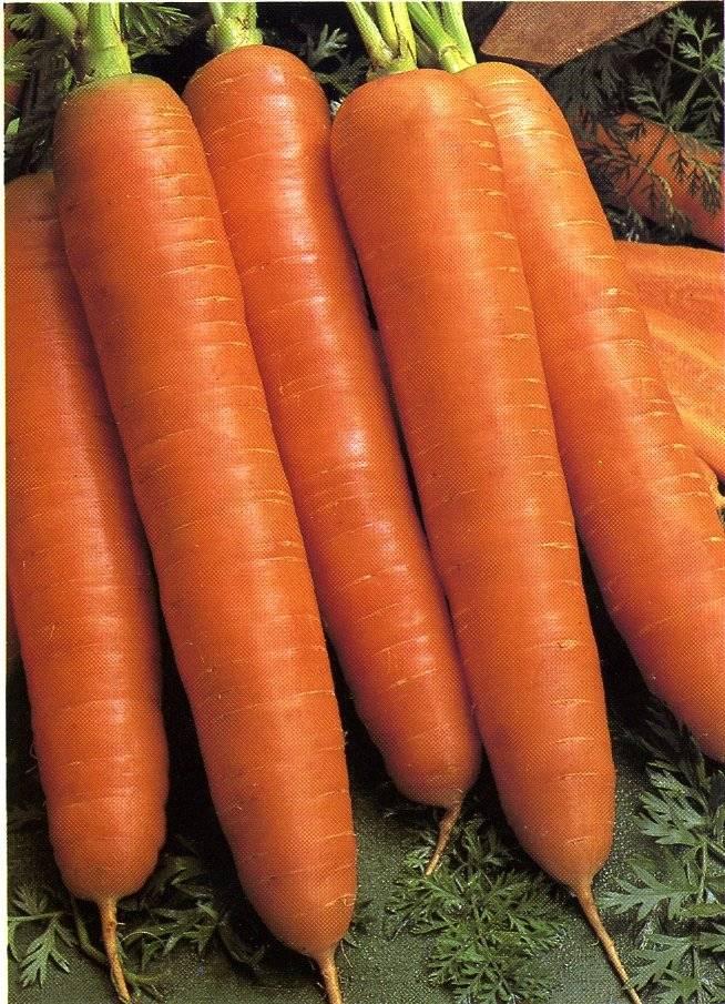 Описание и характеристики сорта моркови королева осени - общая информация - 2020