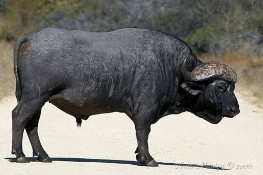 Об африканском буйволе (бык буффало): как выглядит, сколько весит, как разводить