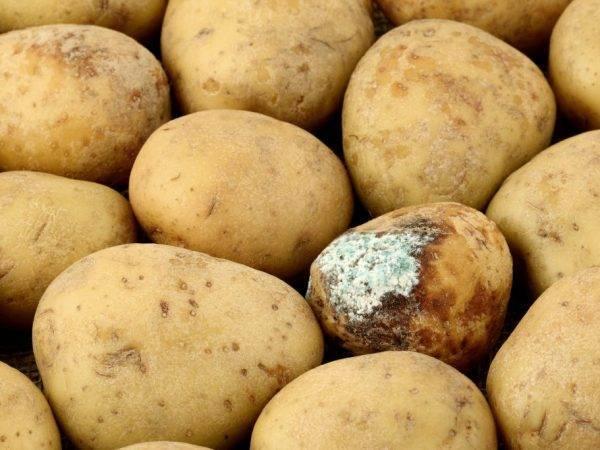 Болезни картофеля от а до я