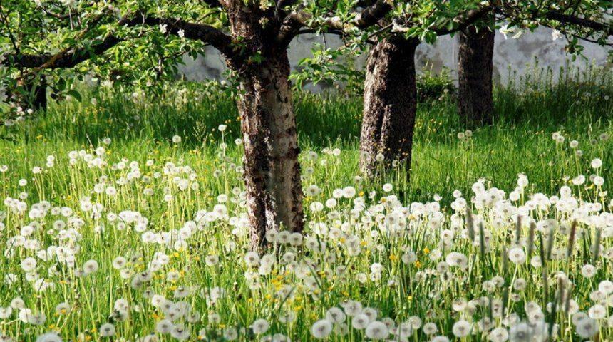 Какие растения можно посадить под кроной яблони?