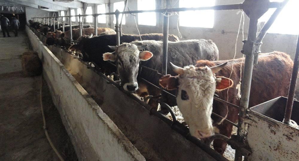 Выращивание бычков на мясо, как бизнес в домашних условиях: условия содержания и откорма
