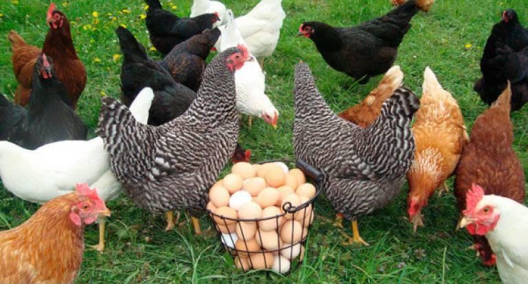 Куры несут мелкие яйца – причины и что делать?