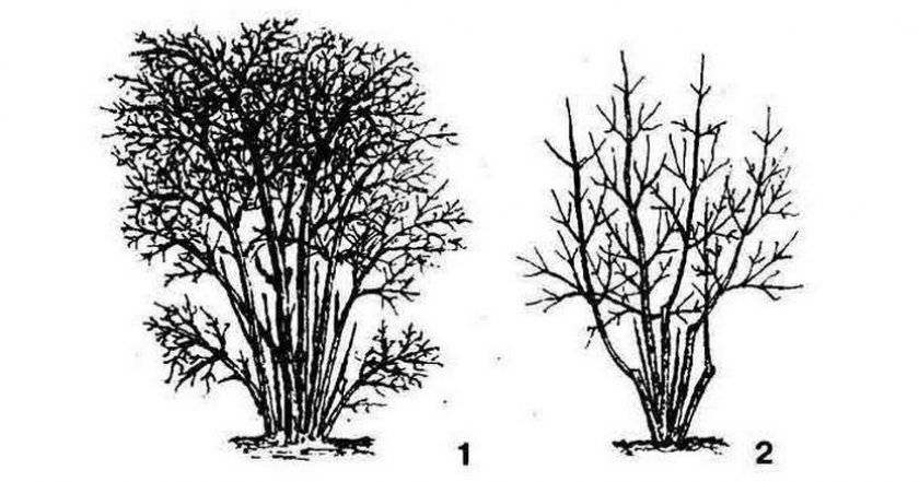 Обрезка жимолости садовой: как и когда правильно обрезать, схемы