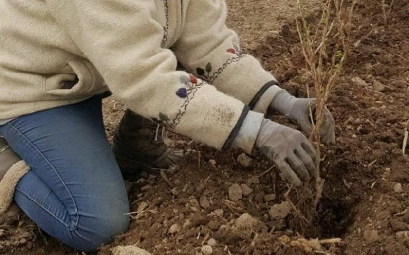 Сроки посадки крыжовника в 2020 году и особенности выращивания кустарника
