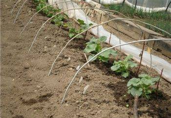 Как правильно формировать дыню в открытом грунте и теплице, нужно ли прищипывать