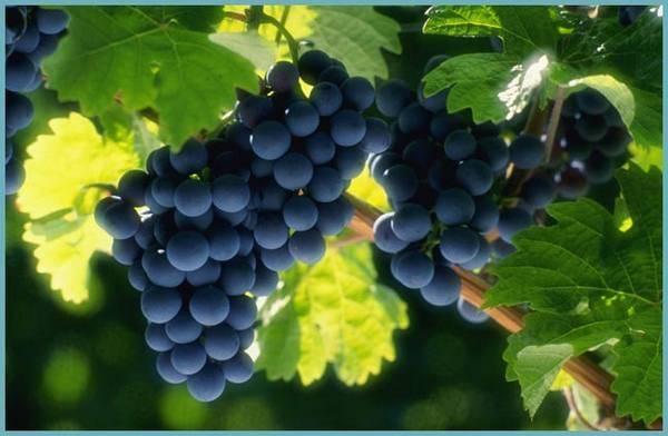 Виноград в ленинградской области 2 уражай. уход за виноградом в открытом грунте