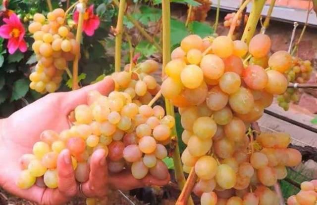Виноград «тасон» — описание, характеристика, история, особенности ухода
