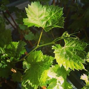 Чем подкормить молодой виноград для роста. чем обработать виноград в качестве профилактики. когда вносить удобрения весной