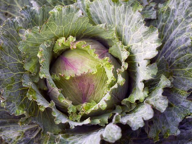 Как правильно сажать капусту на рассаду в апреле