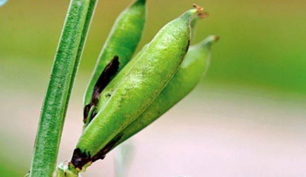 Пшеница - описание растения, виды пшеницы, зерно, свойства и польза