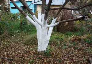 Побелка деревьев весной: когда и чем белить, состав побелки