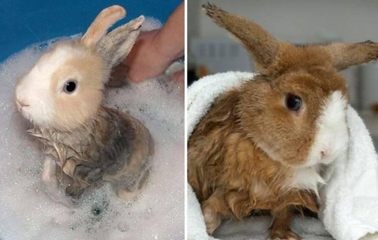 Можно ли мыть кроликов, как мыть кролика, купание декоративных кроликов, можно ли купать кролика - декоративные и карликовые кролики