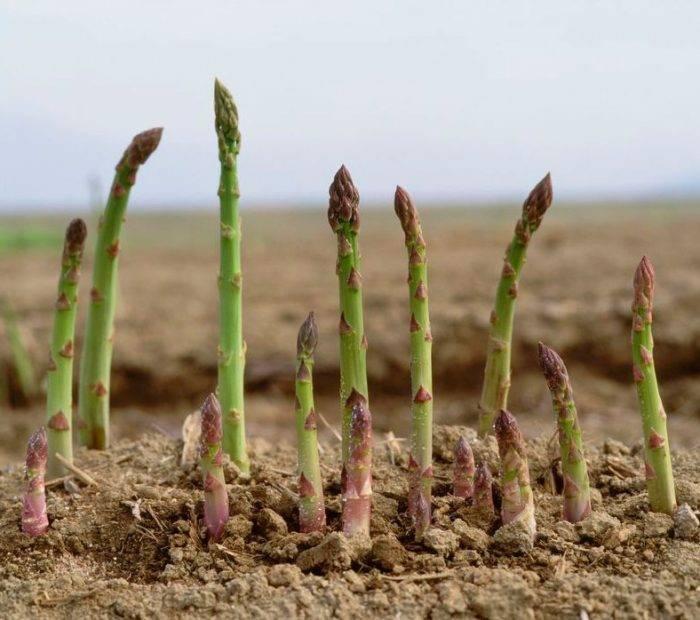 Как вырастить спаржу из семян: посадка и уход, сорта и видео