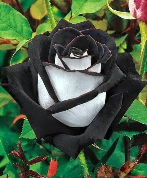 Черные розы: какими они бывают и как сажать такие цветы?