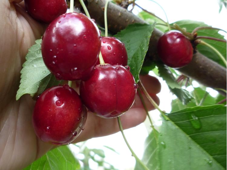 Брянская розовая: сорт черешни, пригодный для выращивания в средней полосе