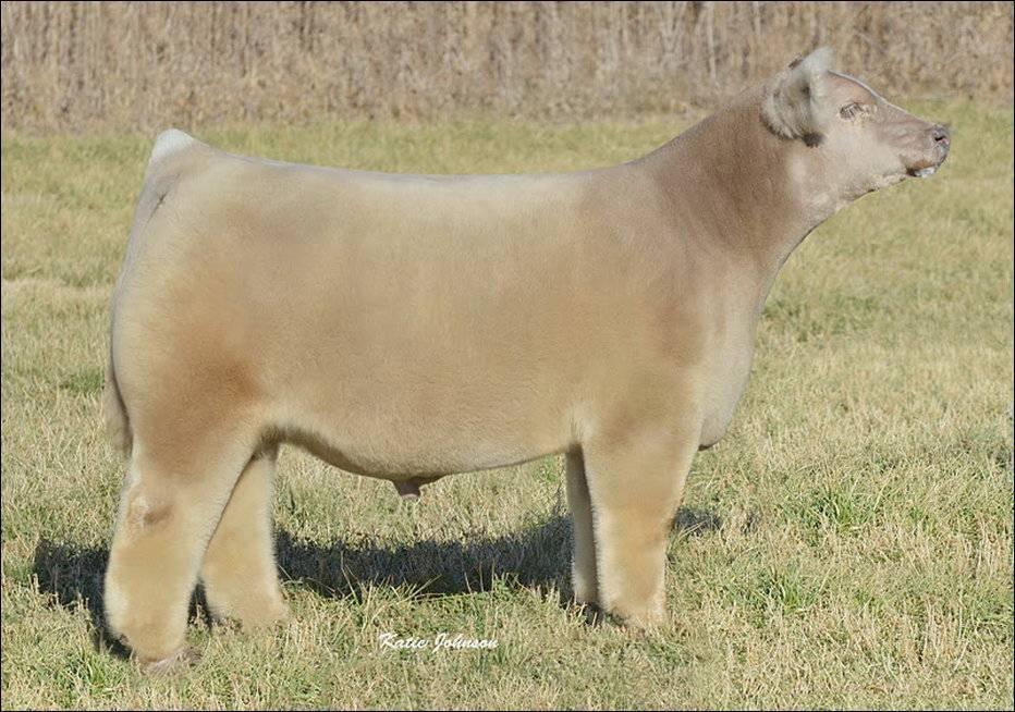 Плюшевая порода коров: фото, характеристика и название