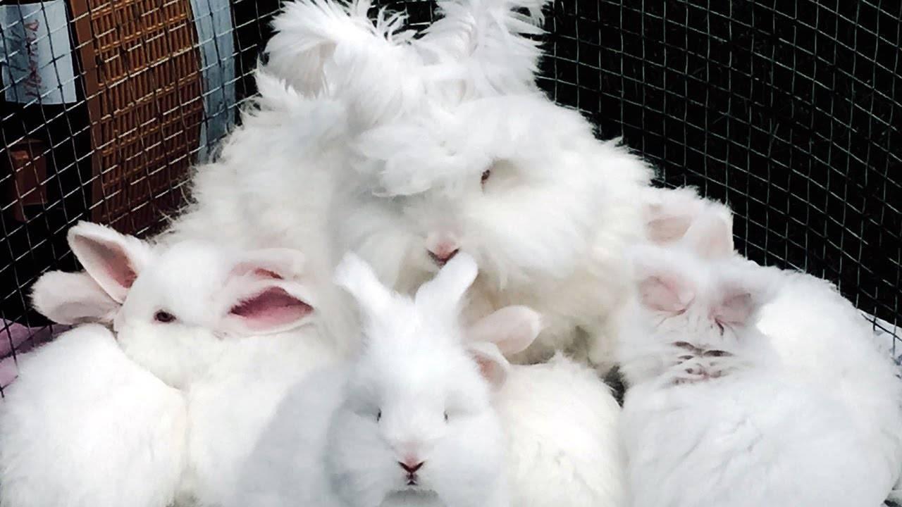 Особенности содержания и разведения ангорских кроликов