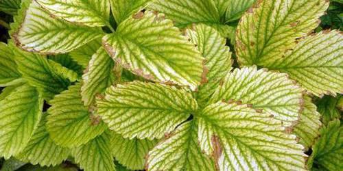 Красные листья на клубнике: методы лечения и советы как бороться с вредителями и заболеваниями (видео + фото)