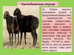 Об Эдильбаевской породе овец: характеристика, разведение баранов эдельбай