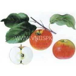 Особенности выращивания и ухода за яблоней «кроха»