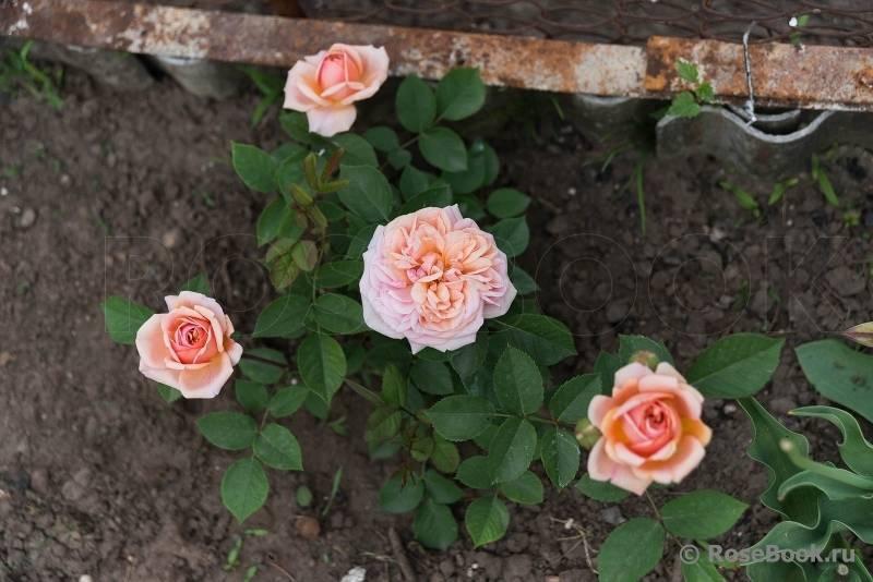 Принцесса маргарита роза