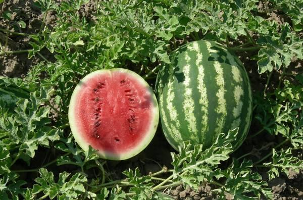 Об арбузе Кримсон Свит: описание сорта, агротехника выращивания и уход