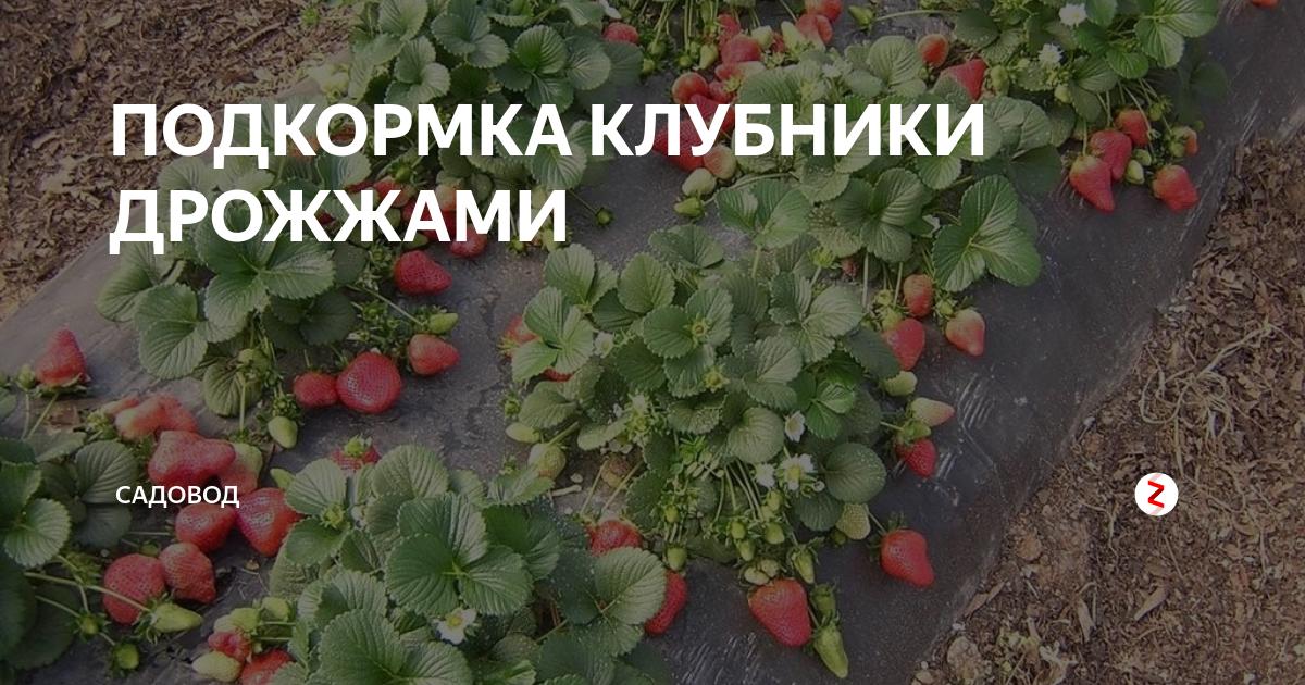 Чем подкормить клубнику летом для хорошего урожая
